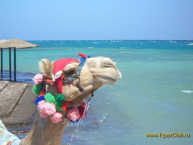 ...Фото из Египта : Египетский клуб : EgyptClub.ru.